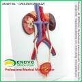 SELL 12422 Human Urogenital System, On Board, Anatomy Models > Urinary Models
