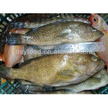 Gefrorener Grouper Fisch