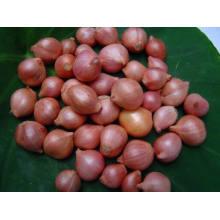 Китайский Новый урожай лук-шалот овощ с высоким качеством экспорта