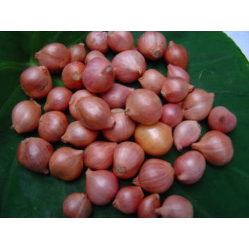 Chinese New Crop Shallot Vegetable with High Exporting Quality