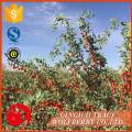 Gute Qualität verkaufen gut getrocknete Wolfberry