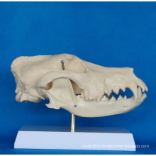 High Quality Dog Skull Anatomy Model for Biology Teaching (R190114)
