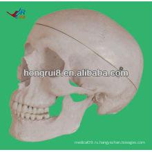 Жизненный размер Модель человека для образования черепа Модель