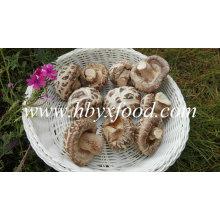 Vegetales secos sin tallo (hongo de flor blanca)