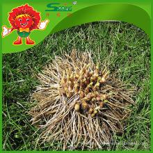 Yunnan allium hookeri fornecedor de produtos de alho de alta qualidade