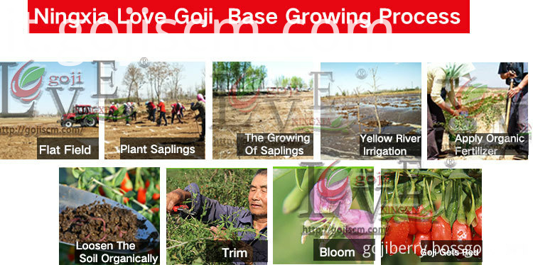 Organic Nutrient Goji Berry growing process