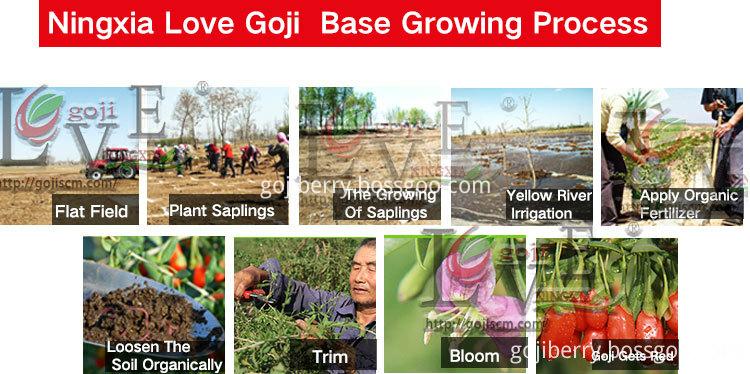 2017 NEW GOJI BERRY growing process