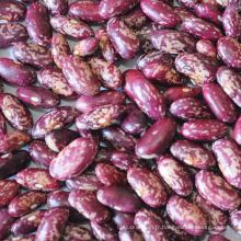 Meilleure qualité haricot moucheté mauve de forme longue cuisson des haricots rouges