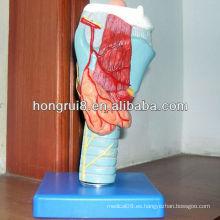 Modelo laríngeo anatómico de ISO, modelo médico de la laringe, garganta y modelo vocal