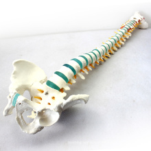"SPINE04 (12375) Medical Science Life Size 29"" Tall Medical Skeleton Models Blue Vertebral Column with Pelvis"