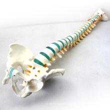 """SPINE04 (12375) Tamanho da Vida da Ciência Médica 29 """"Tall Medical Skeleton Models Coluna Vertebral Azul com Pelve"""