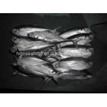 W / R Свежая замороженная рыба из отварных хардтейлов