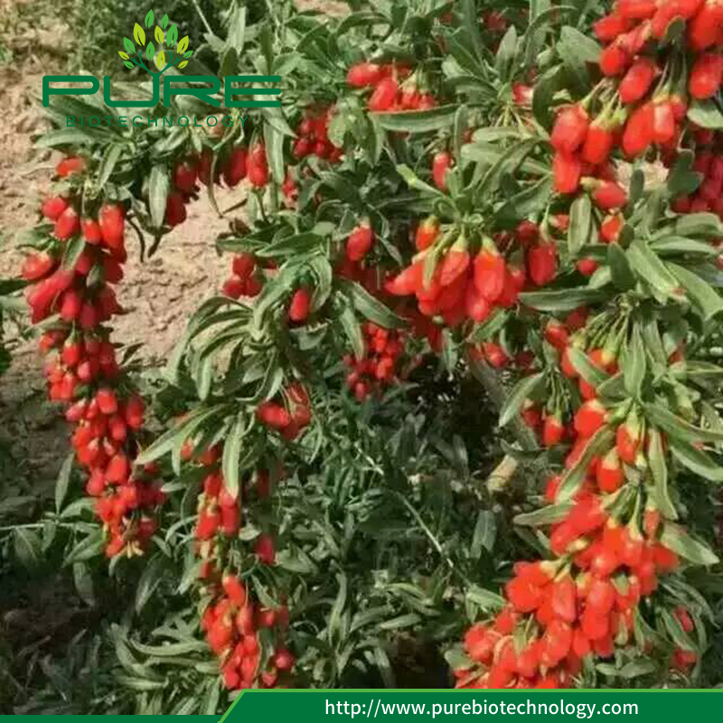 New crop goji berries