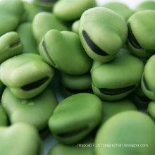 Hot Sale Broad Beans / feijão / fava bean