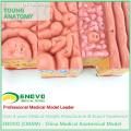 TONGUE01(12532) Tongue Anatomical Model for Human Anatomy Study