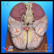 Продвинутая анатомическая модель человеческого мозга