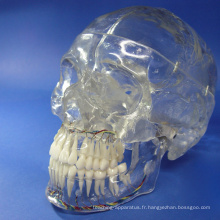 SKULL10 (12336) Crâne médical classique à rayons X, transparent, 3 parties, Cavités dentaires entourant l'affichage, Crâne anatomique