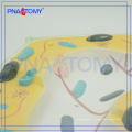PNT-0835 Biological teaching aids Plant cell model