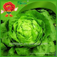 Légumes verts organiques au beurre Huile d'iceberg chinoise