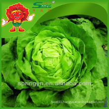 Butterhead organic green vegetables Chinese iceberg lettuce