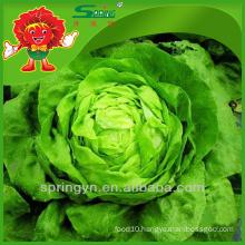 Butterhead organic green vegetables Chinese iceberg lettuce