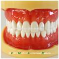 China Medical Anatomical Model Hard Gums 28 Teeth Standard Dental Jaw Model 13013