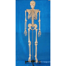 168cm Human Body Skeleton Model with Transparent Ribs