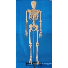 Модель скелета человеческого тела 168 см с прозрачными ребрами