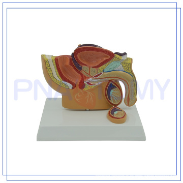 PNT-05701 modelo de pelvis masculina