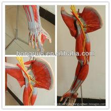 ISO Vivid modelo anatómico de los músculos del brazo con los principales vasos y nervios