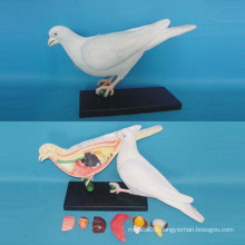 High Quality Dove Anatomy Model for Biology Teaching (R190102)