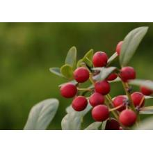 Pharmaceutical Grade Anti-inflammatory wintergreen essential oil