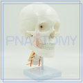 PNT-0154 best sale adult skull model with nerve and cervical vertebra