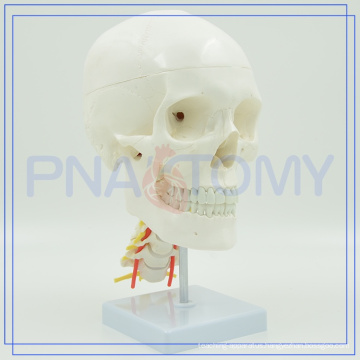 PNT-0154 Hot sale Life Size Skull Education Model For Sale with long service life