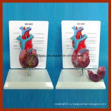 Физический размер Человеческий длинный анатомический образец сердца сердца с описанием пластины