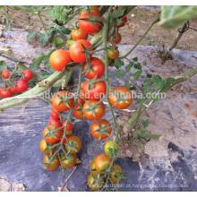 T33 Hongling no.88 f1 híbrido TYLCV resistente indeterminado sementes de tomate cereja vermelho