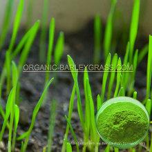 Polvo de hierba de trigo orgánico USDA