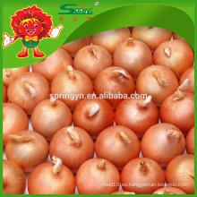 Venta al por mayor de cebolla dorada egipcia fresca