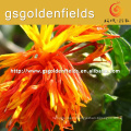 safflower flower safflower Manufacturer