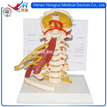 ISO Advanced Cervical Spine Model with Nerves and Muscles