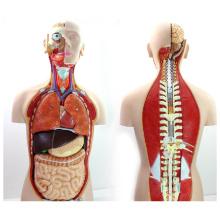 TORSO08 (12019) 85cm Torse sans sexe avec dos ouvert, 18 parties anatomie humaine modèle pour la science médicale