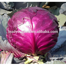 MC071 Zihong round purple high yield hybrid cabbage seeds, chinese vegetable seeds
