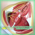 ANATOMY25 (12463) Клиническая медицина Размер жизнь, Анатомия и Биология образование Мужской промежности медицинская модель