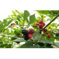 Zl-1046 Anic Blackberry Zl-1046 30