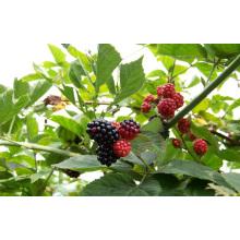 Einzelne schnelle Freezin-IQF Organische Blackberry Zl-1005