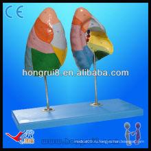 Модель сегментов легкого человека Trachea Bronchi и Lungs Model