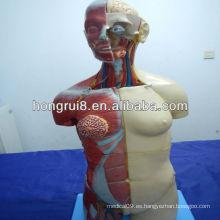 Modelo de torso humano de lujo ISO con espalda abierta, torso de doble sexo de 32 piezas
