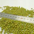 Brotes verdes de frijol mungo con alta calidad, cosecha 2012