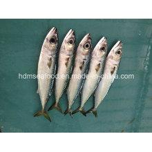 Pescado fresco de caballa Bqf