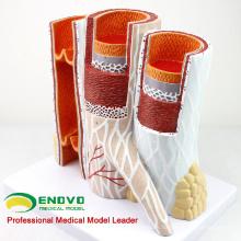 HEART16 (12492) Modelo anatómico de la estructura de las arterias y las venas para la ciencia médica
